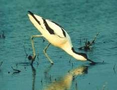 Säbelschnäbler im Nationalpark Wattenmeer
